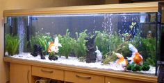 bogwood aquarium - Google Search Goldfish Aquarium, Google Search, Pets, Animals And Pets