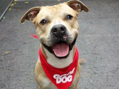 TO BE DESTROYED 06/12/14  Manhattan Center -P   My name is DECLAN. My Animal ID # is A1002034.  I am a male brown and white pit bull mix. The shelter thinks I am about 3 YEARS old.   I came in the shelter as a STRAY on 06/04/2014 from NY 10454, owner surrender reason stated was STRAY. https://www.facebook.com/photo.php?fbid=816394795040068set=a.611290788883804.1073741851.152876678058553type=1permPage=1
