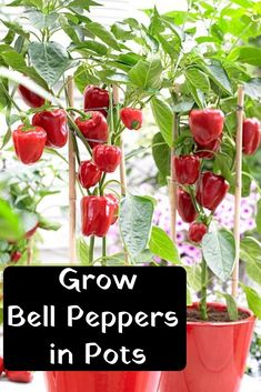 Growing Vegetables Growing Bell Peppers in Pots – Home Crafting Growing Vegetables In Pots, Container Gardening Vegetables, Container Plants, Growing Plants, Growing Seedlings, Regrow Vegetables, Veg Garden, Fruit Garden, Edible Garden
