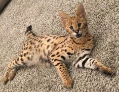 Serval baby Serval Cats, Sphinx Cat, Cat Vs Dog, Mean Cat, Exotic Cats, Pusheen Cat, Cat Scratching Post, Cat Whiskers, Russian Blue