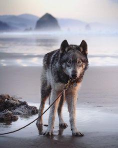 on the Oregon Coast. Wolf Husky Hybrid, Wolfdog Hybrid, Husky Mix, Cannon Beach, Oregon Coast, Beautiful Dogs, Dream Big, Wolves, Animal Pictures