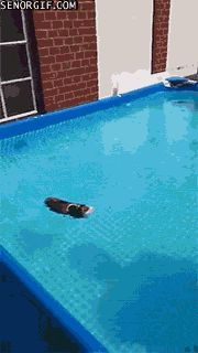OK. I know you can see this guinea pig swimming, and are maybe thinking you are going to make your guinea pig swim, but please don't make your guinea pig swim! It is hurtful to them. Swimming is unfair do guinea pigs because it is a survival tactic. If there put in water they automatically swim. But it could cause bad things like problems in their lungs if you make them do this. When I get my guinea pig I never ever ever ever going to make him swim.