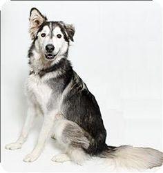 San Luis Obispo, CA - Alaskan Malamute/Shepherd (Unknown Type) Mix. Meet Sparta a Dog for Adoption.