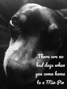 The Doberman Pinscher is among the most popular breed of dogs in the world. Known for its intelligence and loyalty, the Pinscher is both a police- favorite Mini Pinscher, Miniature Pinscher, Doberman Pinscher, Pet Dogs, Dogs And Puppies, Pets, Doggies, Funny Dog Memes, Funny Dogs