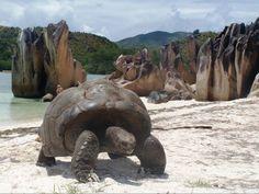 tartarughe a Curiouse island