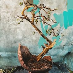 The first styling of a uniquely shaped Brazilian raintree (chloroluceun tortum). The first pic is with an air layered branch edited out. The middle pic is the bush before the Brazilian wax job. The whole sequence is on the blog ((go here:http://wp.me/p22CGa-5HY) #bonsai #trees #americanbonsai #floridabonsai #brazilianbonsai