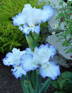 Queens Circle Iris blooms in spring to summer Perennial Beautiful Flowers Garden, Amazing Flowers, My Flower, Pretty Flowers, Flower Garden Plans, Iris Garden, Iris Flowers, Planting Flowers, Flowers Perennials