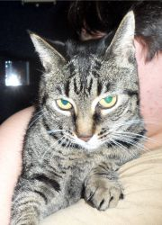 Zoe is an adoptable Tabby Cat in Cumming, GA. I'm Zoe, a beautiful femal tabby with short hair born around 1/10/02. Currently I live with a loving foster family where I'm learning to be a great house ...