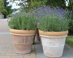 Fragrance of lavender - Bergius Botanic Garden Patio Plants, Outdoor Plants, Outdoor Gardens, Cactus Plants, House Plants, Potted Lavender, Murs Roses, Small Garden Design, Back Gardens
