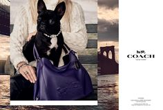 "http://triangleartsandentertainment.org/wp-content/uploads/2015/06/image001.png - ""COACH PUPS"" CAMPAIGN UNVEILED LAUNCHES WITH LADY GAGA'S FURRY FRIEND MISS ASIA KINNEY - New York, June 23, 2015 — Coach, Inc., a leading New York design house of modern luxury accessories and lifestyle collections, goes to the dogs as it reveals its newest advertising campaign. Titled ""COACH PUPS,"" the new campaign features canine stars in a series of portraits photographed by Steve"