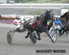 Monkey Bones is the sire of my three year old trotter, Four Lillies. A champion 2 and 3 year old trotter in the United States, he now stands at Wai-Eyre Stud in New Zealand.