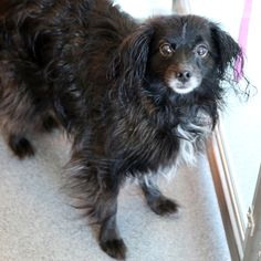 Cooper - SPCA of Texas (McKinney)
