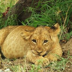 A fat little lion cub of the Askari pride after a wildebeest breakfast