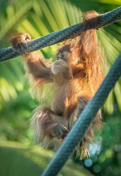 — Little Orangutan by helenehoffman