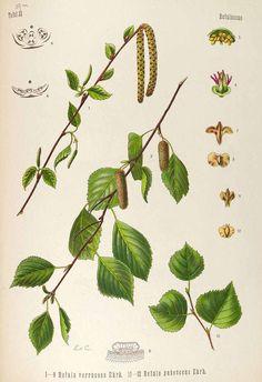 Downy/White BirchBetula pubescens,