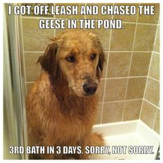 """I got off the leash and chased the geese into the pond... 3rd bath in 3 days. Sorry, Not Sorry."" ~ Dog Shaming Retriever, did I mention I also got in the pond water?"
