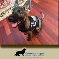 This little girl is very excited to get started on her life's mission - to become a Super #ServiceDog from #GuardianAngelsMedicalServiceDogs. Once trained, she'll go on to assist a #veteran struggling with #PTSD, or other disabilities.