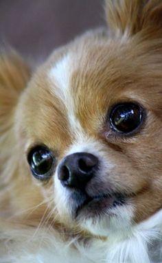 I love Chihuahua ♥