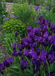 An iris garden...beautiful!