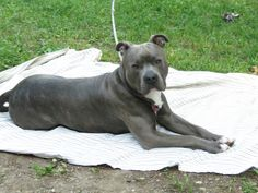 """10 Months.  Knight """"Sabre"""" the Thunderfoot.  Blue Nose. Reverse Blue Brindle.  Pitbull. APBT/AmStaff"""