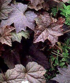Heuchera micrantha diversifolia Palace Purple - Feuilles