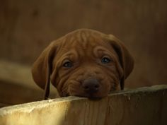 Vizla Pups/ New Arrivals - Page 5 - Falconry Forum (IFF)