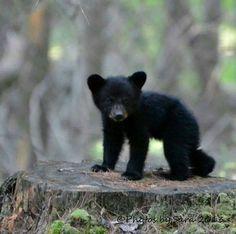 """Képtalálat a következőre: """"baby black bear"""" Bear Cubs, Panda Bear, Polar Bear, Teddy Bear, Cute Baby Animals, Animals And Pets, American Black Bear, Black Bear Cub, Wooly Bully"""