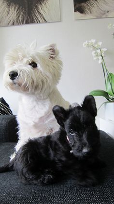 Awww, little sweeties! The baby Scottie looks like my Roxy when I brought her home 5 years ago!