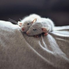 Resting Rats- normally don't like rats, but this is too cute