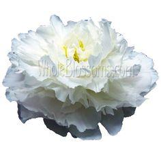 Michella Marie: White Paper Peonies Tutorial EZ with coffee filters! Fake Flowers, Diy Flowers, Fabric Flowers, Wedding Flowers, Wedding Bouquet, Purple Flowers, White Flowers, Paper Peonies, Paper Roses