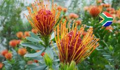 It is unique also because of its abundance of plant species (roughly 8700 species) and its significant endemicity, with 68% of fynbos species belonging exclusively to the Cape Floral Kingdom. This means that when compared to some of the other floras across the globe, the Cape Floral Kingdom outshines many tropical rainforest regions in terms of sheer diversity. Alien Plants, Endangered Plants, Agricultural Practices, Plant Species, Biomes, Plant Needs, Trees And Shrubs, Nature Reserve, World Heritage Sites