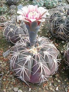 Flowering Succulents, Cacti And Succulents, Planting Succulents, Planting Flowers, Rare Plants, Exotic Plants, Cactus House Plants, Cactus Plante, Desert Flowers