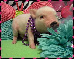 Mini Micro Pigs - Miniature Pigs - Teacup Pigs -