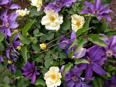 Looking for new plant combinations? Why not try growing clematis with your roses. Clematis aren't just for walls! Grown through other plants they prolong flower and seasonal interest. Clematis Trellis, Clematis Plants, Autumn Clematis, Purple Clematis, Rose Companion Plants, Companion Planting, Shade Perennials, Shade Plants, Orange