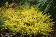 Plant photo of: Coleonema pulchellum 'Sunset Gold' - draught tolerant