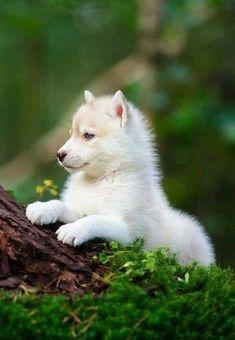 Cute Husky Puppies, Husky Puppy, Cute Dogs, Funny Puppies, Adorable Puppies, Puppies Puppies, Wolf Puppies, Cute Puppy Breeds, Mastiff Puppies