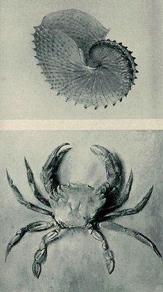 Paper Nautilus and Velvet Crab by John Ruskin
