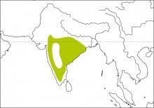 Spot-breasted Fantail (Rhipidura albogularis)