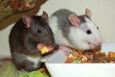 Farbratten sind Allesfresser (Omnivore), werden aber hauptsächlich vegetarisch ernährt. Die gesunde Fütterung besteht aus Trockenfutter, Frischfutter (Gemüse und Obst), tierischer Nahrung und frischem Trinkwasser. Im Zoofachhandel erhalten Sie verschiedene Futtermischungen, die in der Regel. alle notwendigen Vitamine, Nähr- und Mineralstoffe enthalten. Sie können wählen zwischen Pellets (Pressfutter) und bunten Körnermischungen.