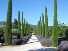 Lavender & Cypress Trees look lovely together! Nelson Architect, Landscape in Provence, France Provence Garden, Provence France, Formal Gardens, Outdoor Gardens, Italian Cypress Trees, Lavender Garden, Italian Garden, Dream Garden, Garden Paths