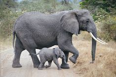 African elephant baby and mother crossing road by Matthew Spaulding - Stocksy United Baby Elephant Video, Elephant Gif, Elephant Quilt, Small Elephant, Indian Elephant, Elephant Love, Elephant Photography, Animal Photography, Wildlife Photography