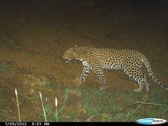 leopard at R15 Sauvignon blanc