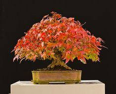 Bonsai Before & After - Japanese Maple by Walter Pall – Stone Lantern Japanese Maple Bonsai, Japanese Red Maple, Acer Bonsai, Bonsai Trees, Bushes And Shrubs, Stone Lantern, Sandy Soil, Tree Care, One Tree