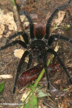 Pamphobeteus petersi or Red rump tarantula (Brachypelma vagans) in the Amazon rainforest