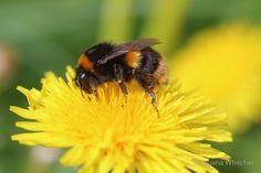 Buff-tailed Bumble Bee on Dandelion