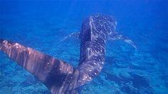 Snorkel con tiburón ballena en Maldivas