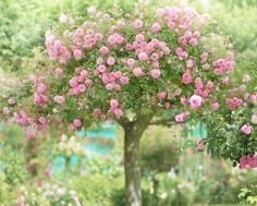 Gorgeous Tree Roses.... Oh... how I would love to be able to grow one of these! <3     Just found an article about growing and grafting one of these gorgeous rose trees. Lots of work and a nice green thumb, but successful results would surely be worth it. <3    http://www.gardeningknowhow.com/flower/learn-more-about-tree-roses.htm