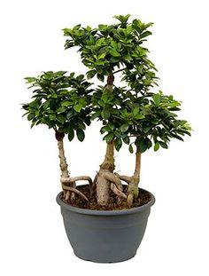 Bonsai Ficus : Ginseng, Retusa, Benjamina | Bonsai-Entretien ...