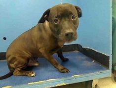 GONE RIP 5/18/13 Manhattan Center BLACKY A0961994 Neutered male black pit bull mix 5 YEARS old.  Past, that's not so shiny this little boy needs a good teacher to show him that ppl aren't so bad.  PLS share Blacky so he can find the right home that will love and teach him.   https://www.facebook.com/photo.php?fbid=596726907006859=a.275017085844511.78596.152876678058553=3
