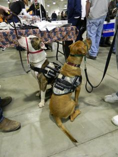 Patch at his first public event as a service dog in training through Veteran's Best Friend.